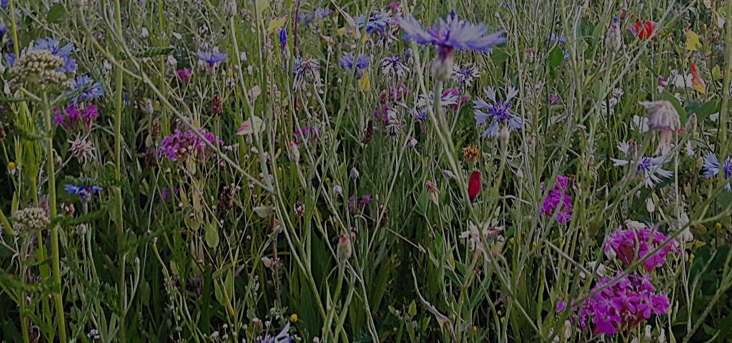 Blumenwiese Anlegen eine blumenwiese für die bienen 24notes
